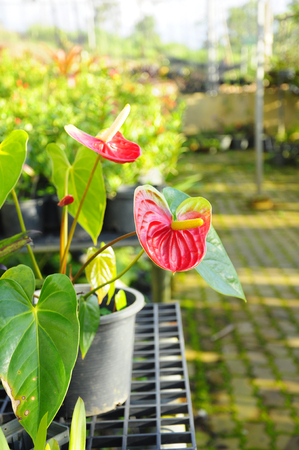 Red Anthurium flower in a pot Stock Photo