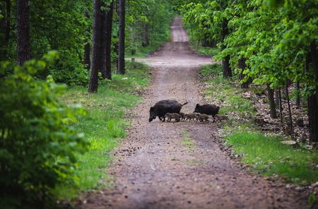 reproach: Wild boar with rookies in the forest