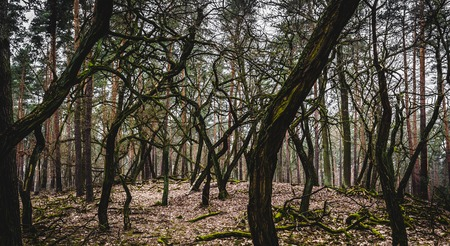 crooked: Grove of oddly shaped trees in Crooked Forest