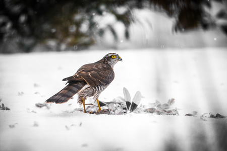 A male Goshawk with prey in snow Stock Photo