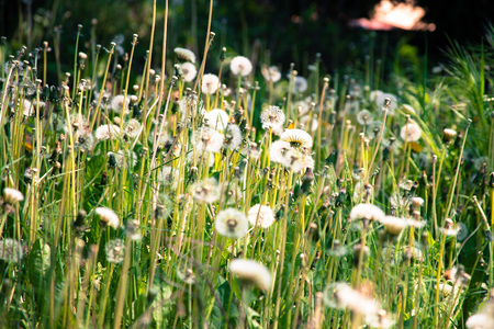 dandelion field: dandelion field in green and white colours Stock Photo