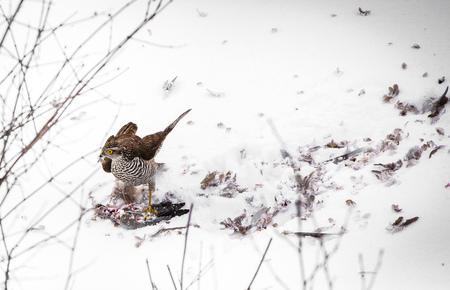 goshawk: A male Goshawk with prey in snow Stock Photo