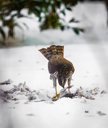 bird eating raptors: A male Goshawk with prey in snow Stock Photo