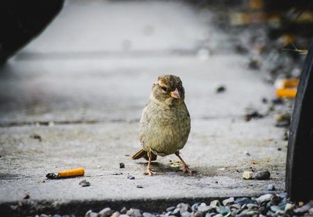 담배 사이의 아스팔트에 흡연 조류 참새