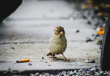 Smoking bird sparrow on asphalt in between cigarettes