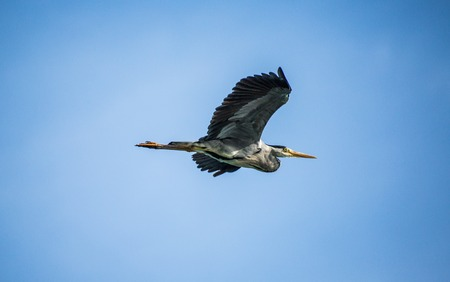 Great Blue Heron in flight with wings high Stock Photo