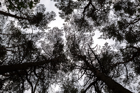 treetops: looking up into the treetops of a pine forest