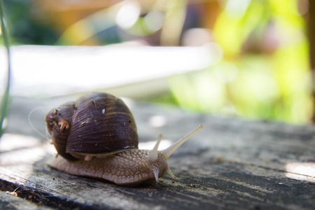 poky: closeup of a land snail on a rustic wooden surface