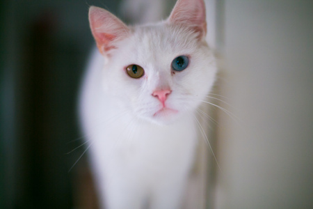 whiskar: white cat with green and blue eyes