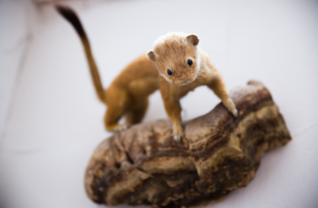 gronostaj: stuffed ermine stoat watching with selective focus