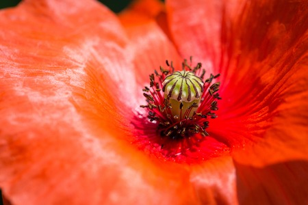 red poppy flower detail closeup macro photography Stock Photo