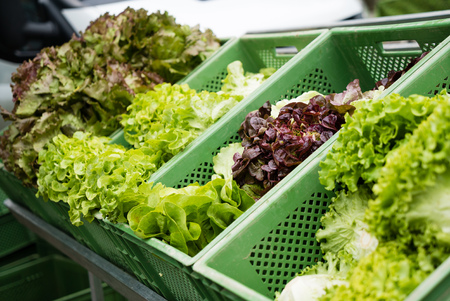 organically: Group of fresh organically grown fresh romaine lettuce in the farmer market at germany