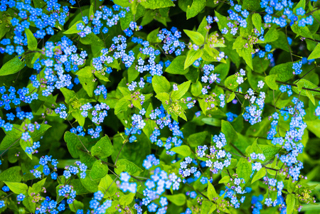 forget me not: blue Forget me not flowers vase background Stock Photo