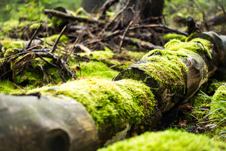 brake fern: tree trunk with green moss in wild forest Stock Photo