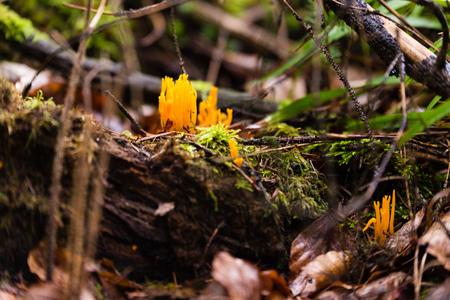 cornea: Small stagshorn fungus, Calocera cornea growing on beech wood Stock Photo