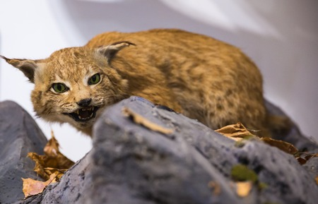 animal viviparous: Lynx at liberty. wild Lynx standing on a stone