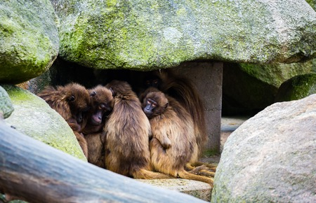 close together: A group of monkeys sitting next close together under stone