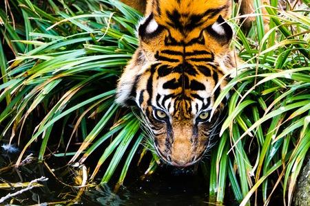 Bengal Tiger drinking water. Adventure safari trip through dense forest path with many wild animals walking Zdjęcie Seryjne