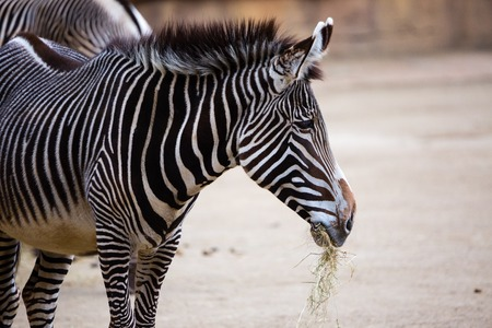 watchful: Watchful Zebra on the plains in Mikumi National Park, Tanzania