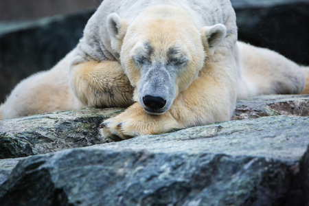 dearly: lazy sleeping ice polar bear portrait closeup