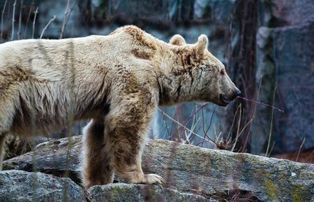 Big brown bear Ursus arctos standind on a stone