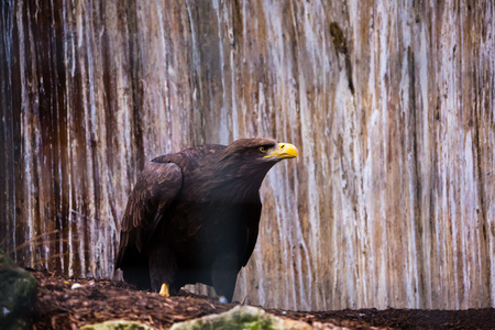 talons: Bald Eagle sitting and resting on the ground