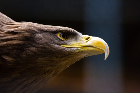 Closeup shot of an American Bald Eagle in the wild, our American bird of prey that conveys the perfect message. Nature at its best, beauty and symbolic emblem of all that we stand for in North America