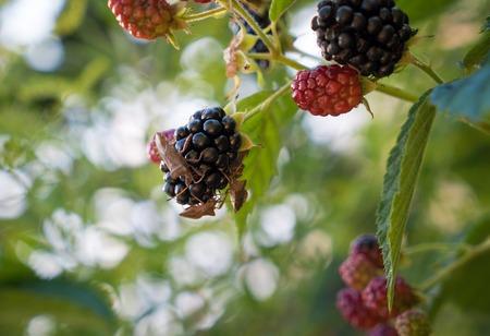 shieldbug: Hairy Shieldbug or Sloe Bug - Dolycoris baccarum on blackberry dewberry