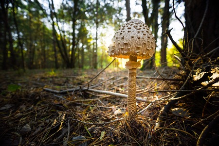 mottle: enormous Parasol Mushroom Macrolepiota procera in the woods