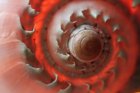 nautilus shell: beautiful Nautilus shell in shiny orange red colours