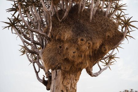 photo of Quiver Tree with large Social Weaver birds nest in Africa