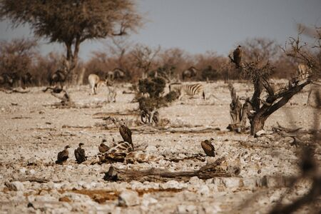 vultures feeding on dead giraffe in Etosha National Park Namibia