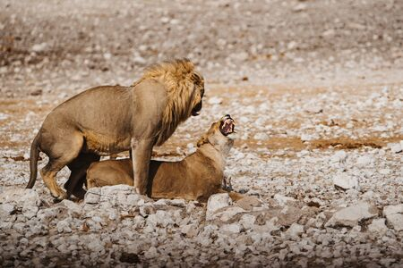 Male and female lions in Africa. Mating couple in the act of copulation