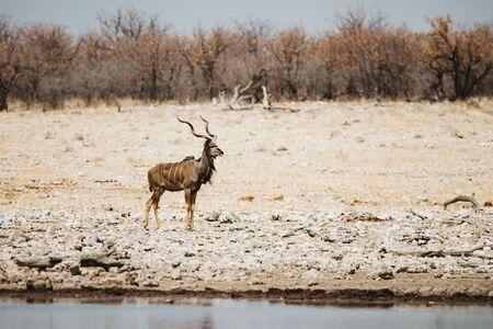common eland, eland antilope, Taurotragus oryx bull on the savannah of Etosha National Park in Namibia, Africa Stock Photo