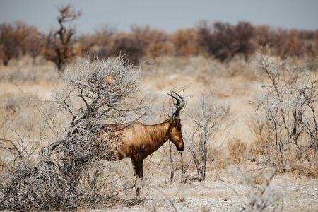 common eland, eland antilope, Taurotragus oryx bull on the dry desert sand and savannah of Etosha National Park in Namibia, Africa, 2019 Stock Photo