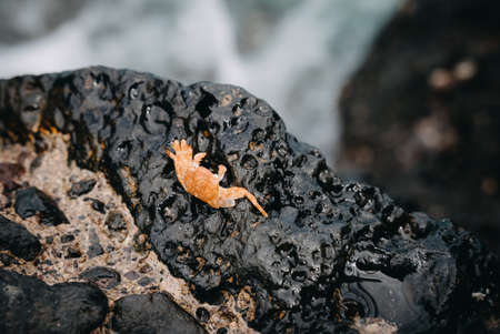 Sally Lightfoot crab (Grapsus grapsus, also red rock crab) at the volcanic coastline of Tenerife, Spain in Europe