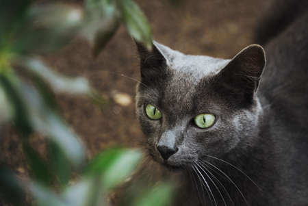 portrait of a beautiful cat with green eyes staring outside in the wild