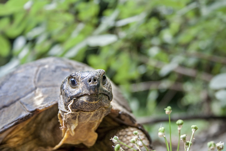 Close up of a Hermanns tortoise head on isolated green background