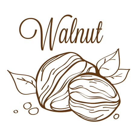 hard crust: hand drawn line-art vector illustration of walnut