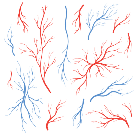 인간의 정맥과 동맥, 적혈구. 혈액 시스템 벡터 설정, 혈액 혈관 흰색 배경에 고립.