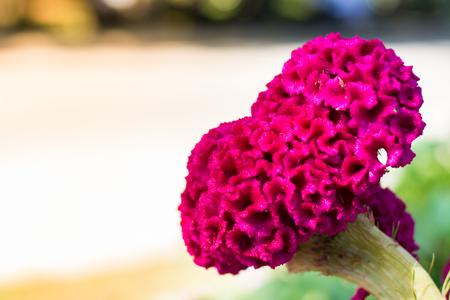 Cockscomb, big pink flower Imagens - 84187834