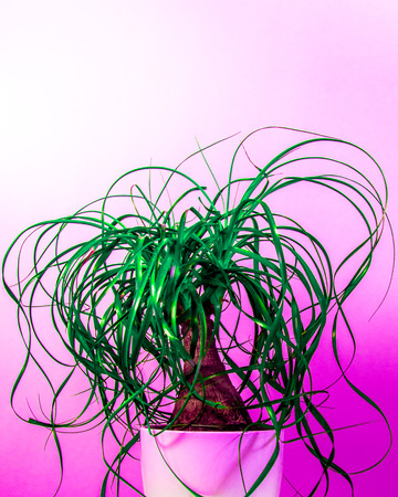 Potted ponytail palm (Beaucarnea Recurvata) in an extremely pink neon background. Colors were manipulated on purpose. Stock Photo