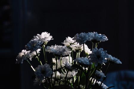 Un manojo de crisantemos blancos. Sol entrante, mancha de luz en las flores, ambiente cambiante. Copia espacio Foto de archivo - 88454595