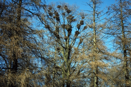 Spring nesting birds rooks on the branches of trees in Russia photo