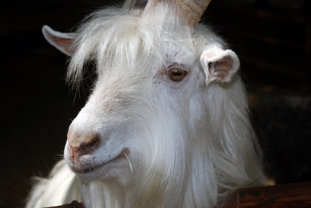 Head of the white bearded goat on a black background photo