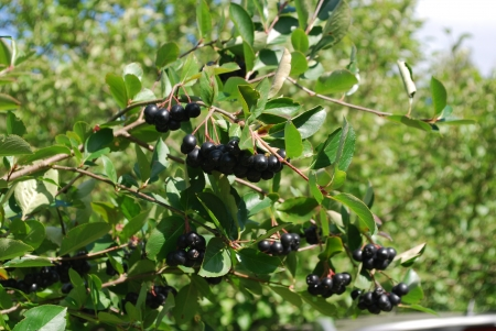 A branch of the ripe berries of a chokeberry  The time of harvest  photo