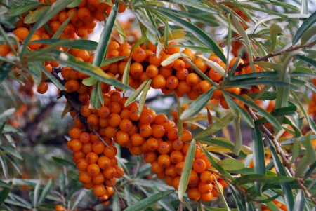 A branch of the ripe berries of sea buckthorn  Harvest time photo