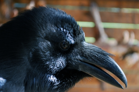 Portrait of a black Raven  Smart bird  photo