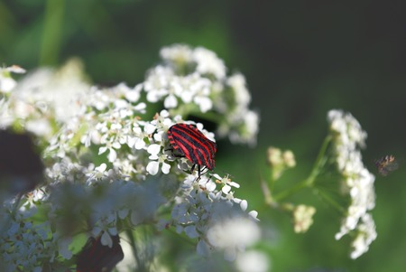 Live beetle are sitting on the white flowers photo