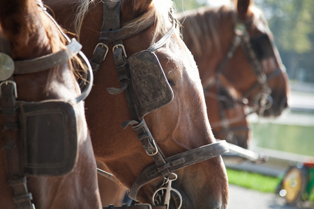 blinders: horses with blinders. three  horses in front of a coach.